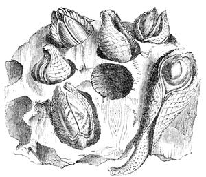 Natural_history__mollusca__pholas