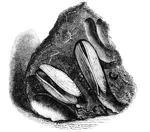 Natural_history__mollusca__saxicava