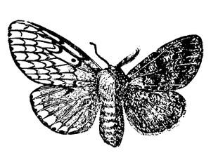 Gynandromorph