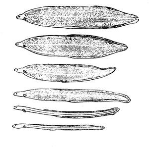 Leptocephalus