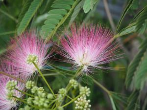 Flowersplantalbizziajulibrissin7919
