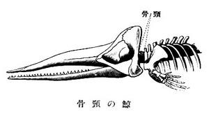 Kujirakubi