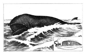 Kujiratoukotuhige
