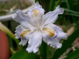 Iris_japonica1_flower