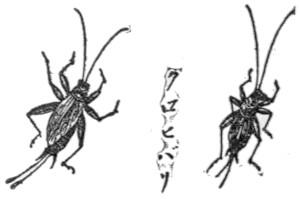 Kurohibari