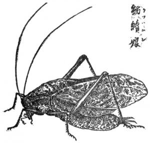 Kutuwamushi